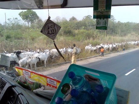 mr. Bello in his truck passing Fulani cows